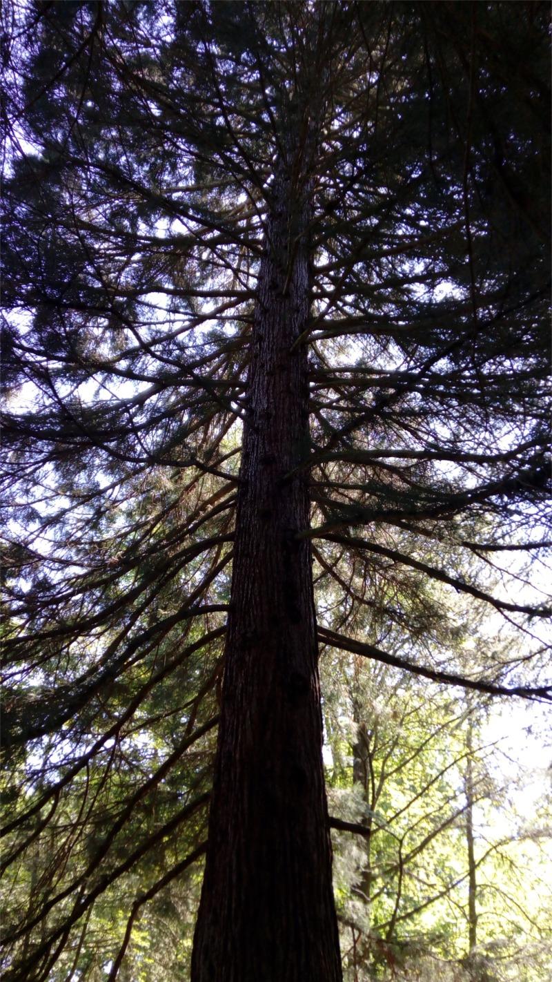 Ein nordamerikanischer Mammutbaum (ca. 80 Jahre)