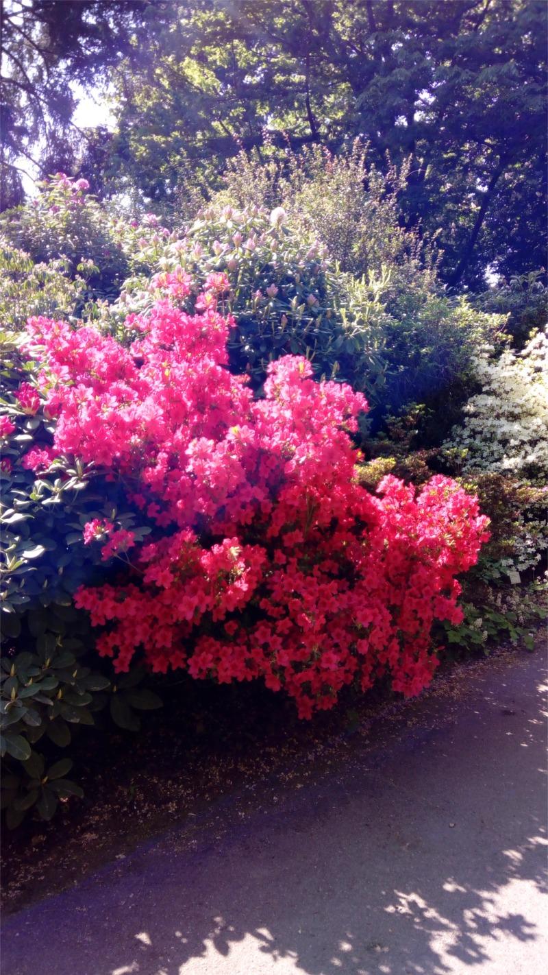 Ein roter Rhododendronbusch